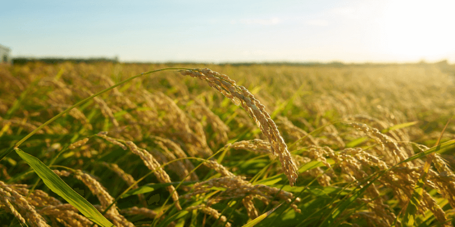 image-of-indian-agriculture
